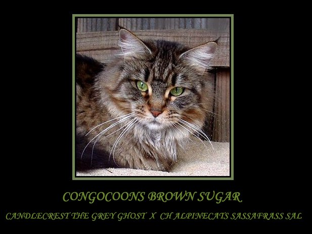 image of a maine coon named sugar