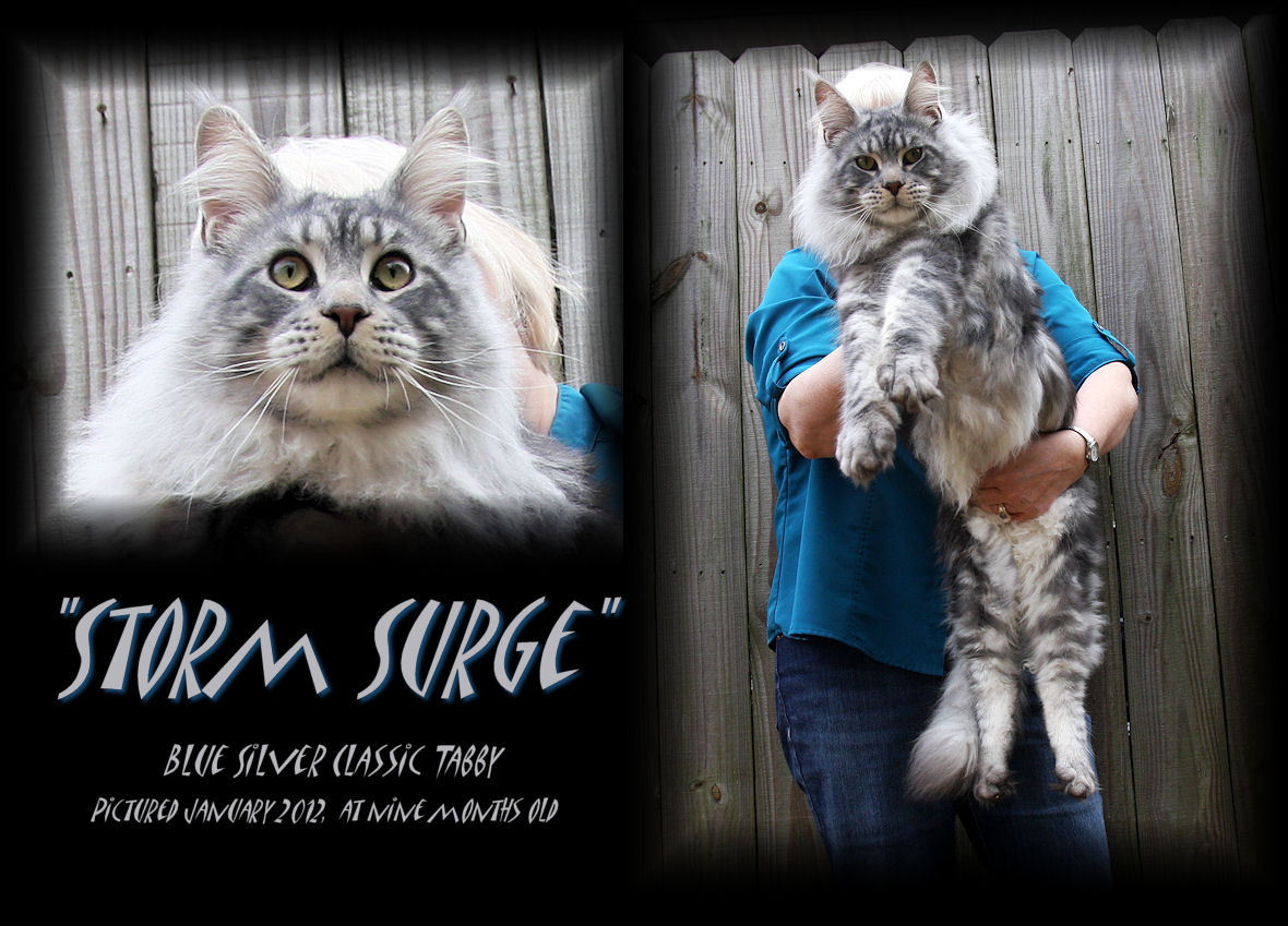 picture of a blue silver maine coon cat