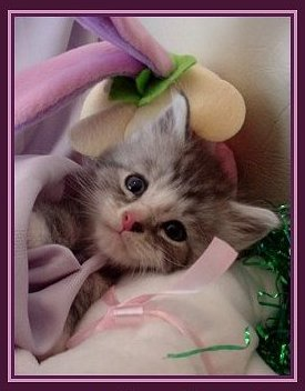Image of an easter maine coon kitten