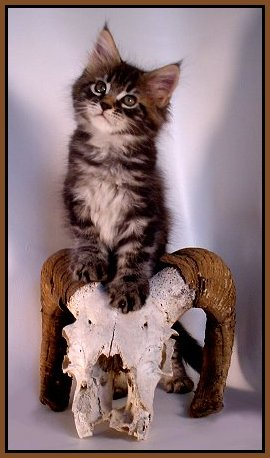 image of maine coon kitten with skull
