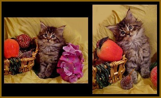 image of maine coon kittens with fruit