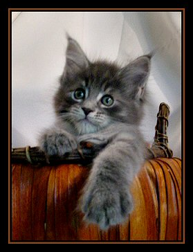image of a maine coon kitten in pumpkin
