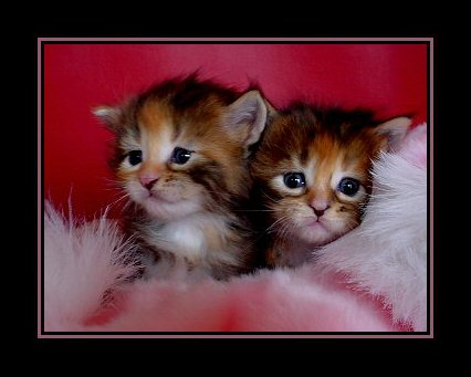 image of two maine coon kittens in pink