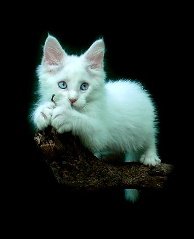 image of a white maine coon kitten out on limb