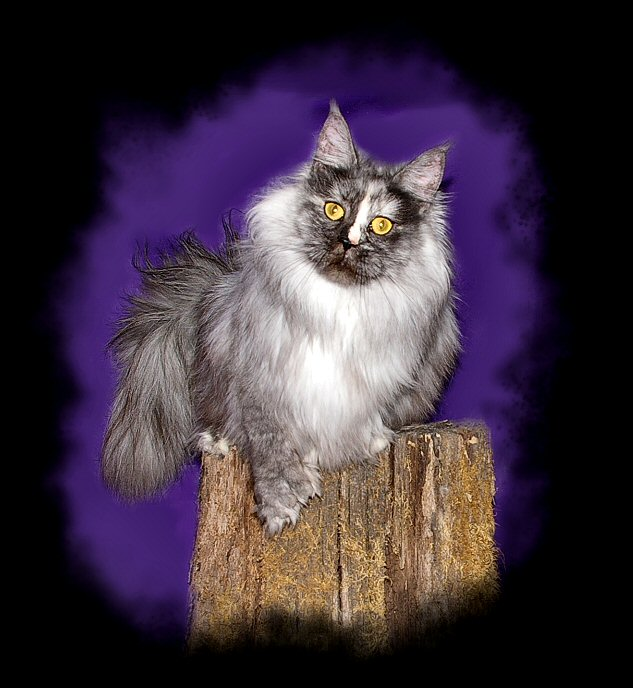 image of a maine coon cat named zulu